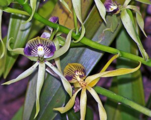 Black Orchids Cayo
