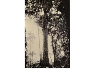 Belize Mahogany