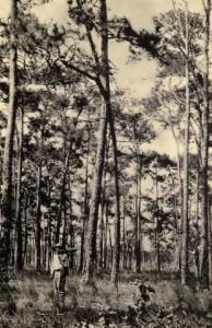 southern pine ridge